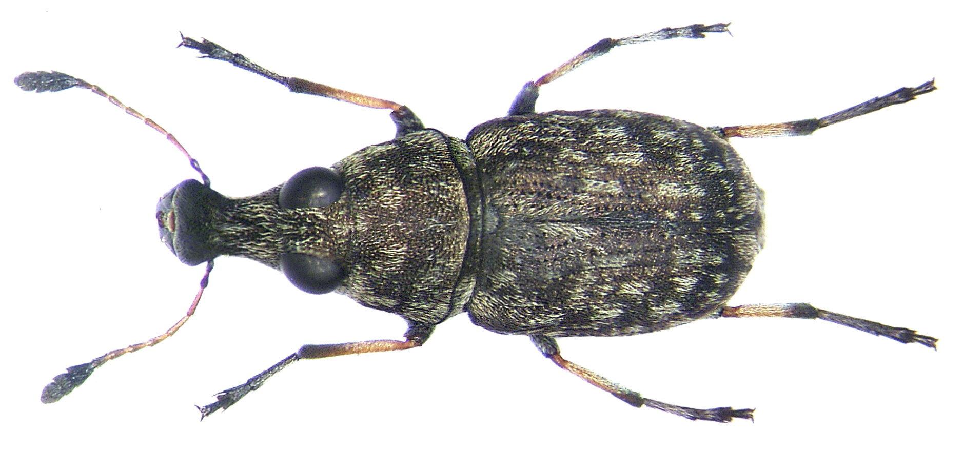 Image of <i>Plintheria luctuosa</i>