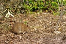 Image of Southern brown bandicoot