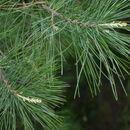 Image of Armand pine