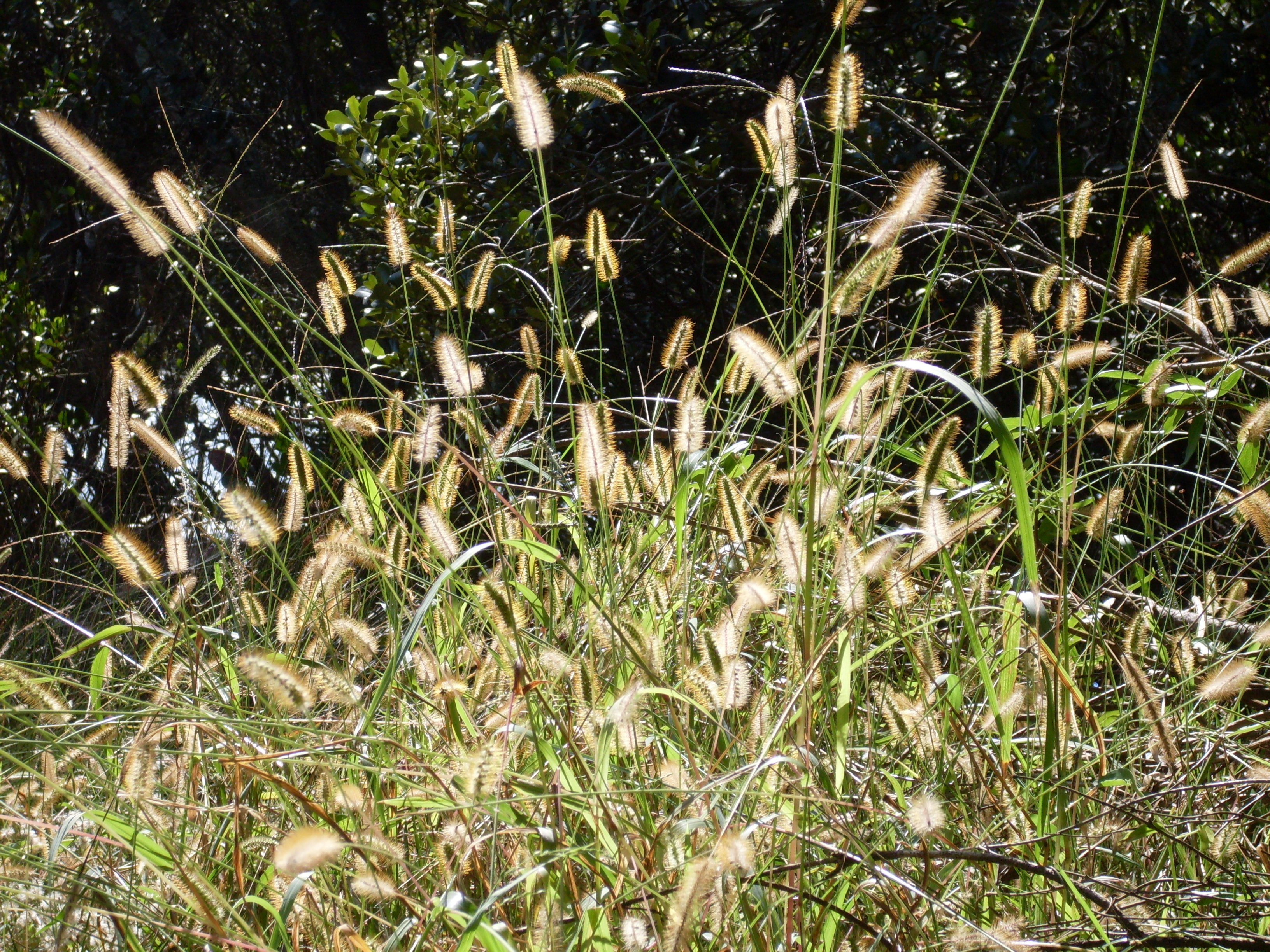 Image of yellow foxtail