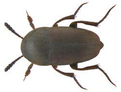 Image of <i><i>Ptomaphagus</i></i> (Ptomaphagus) <i>subvillosus</i> (Goeze 1777)