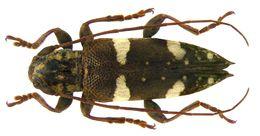Image of <i>Falsepilysta bifasciata</i>