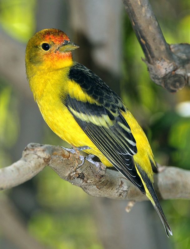 Image of Western Tanager