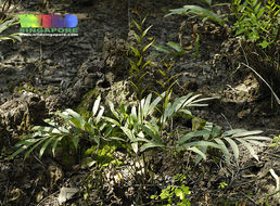 Image of mangrove fern