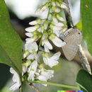 Слика од <i>Derris trifoliata</i> Lour.