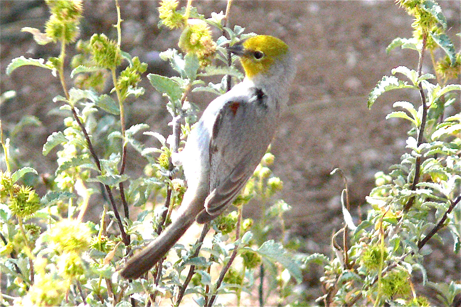 Image of Verdin