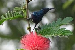 Image of Purple Sunbird