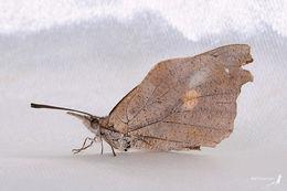 Image of <i>Libythea celtis formosana</i> Fruhstorfer 1909