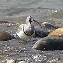 Image of ibisbills