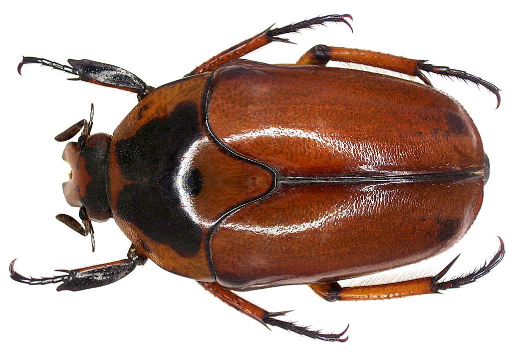 Image of <i>Lomaptera lutea</i> Janson 1905