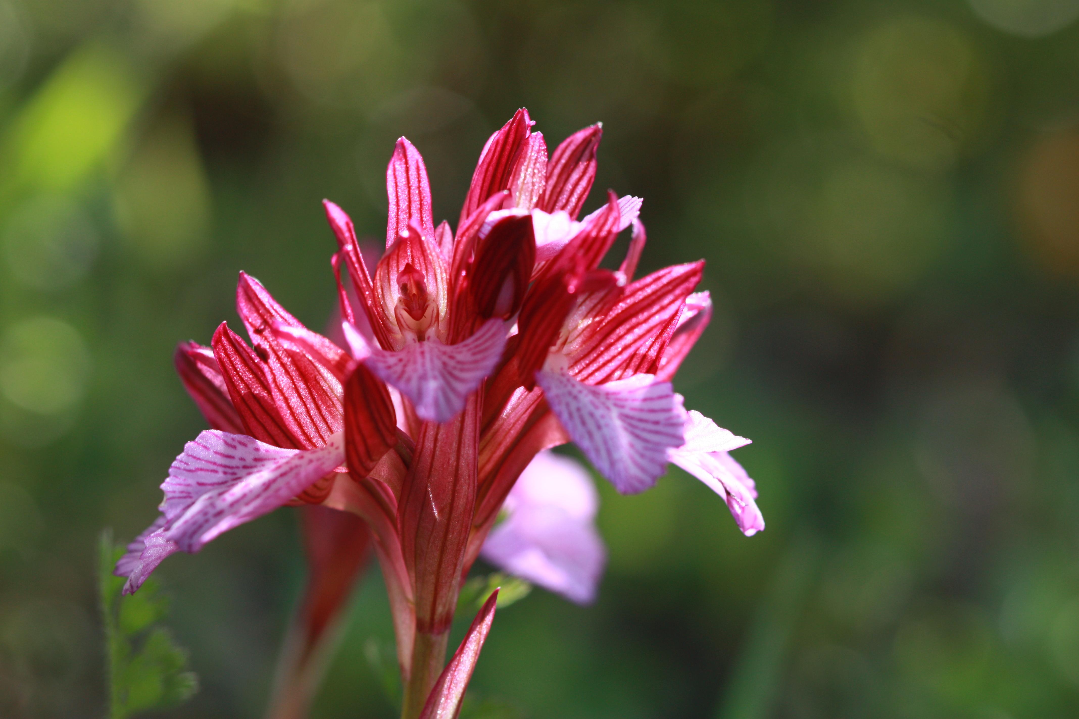 Image of <i>Orchis papilionacea</i>
