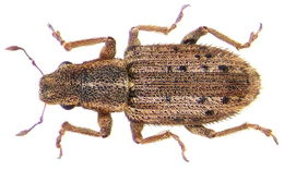 Image of Spotted Pea Weevil