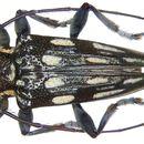 Image of <i>Trigonoptera maculata</i> Perroud 1855