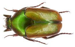 Image of <i>Lomaptera macrophylla</i> Gestro 1874