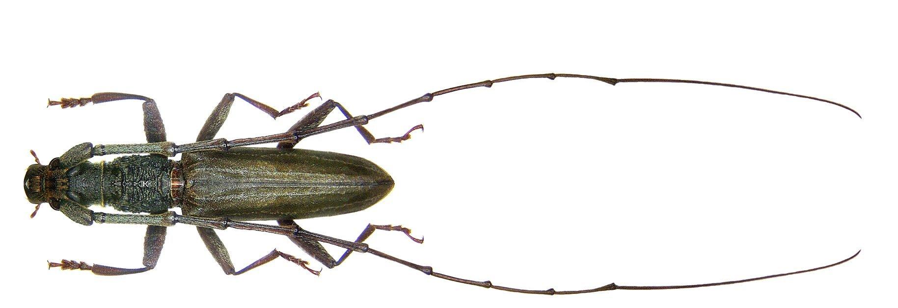Image of <i>Dymasius mandibularis</i> (Gahan 1891)