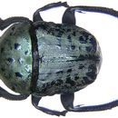 Image of <i>Allogymnopleurus maculosus</i> (Mac Leay 1821)