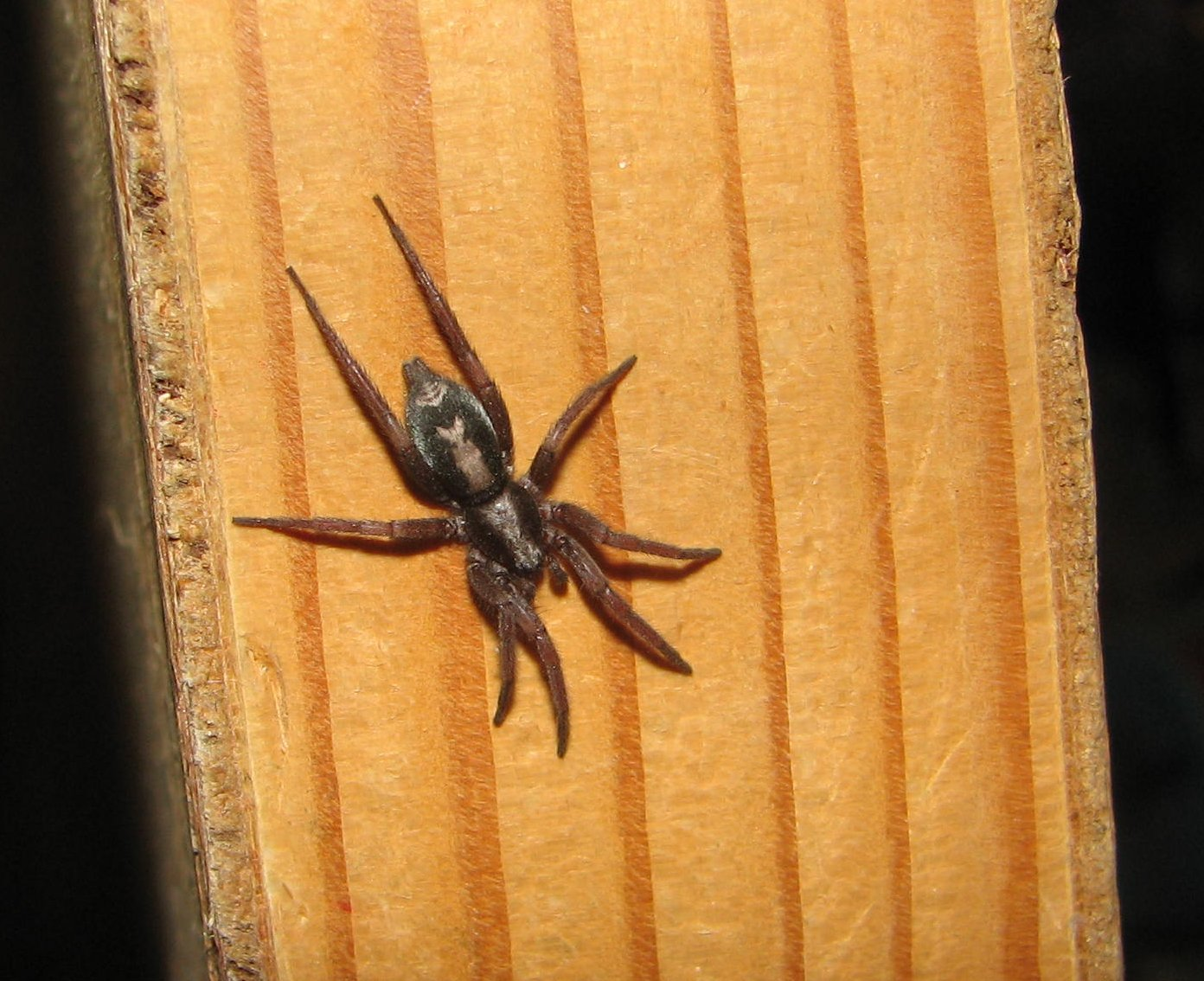 Image of Eastern Parson Spider