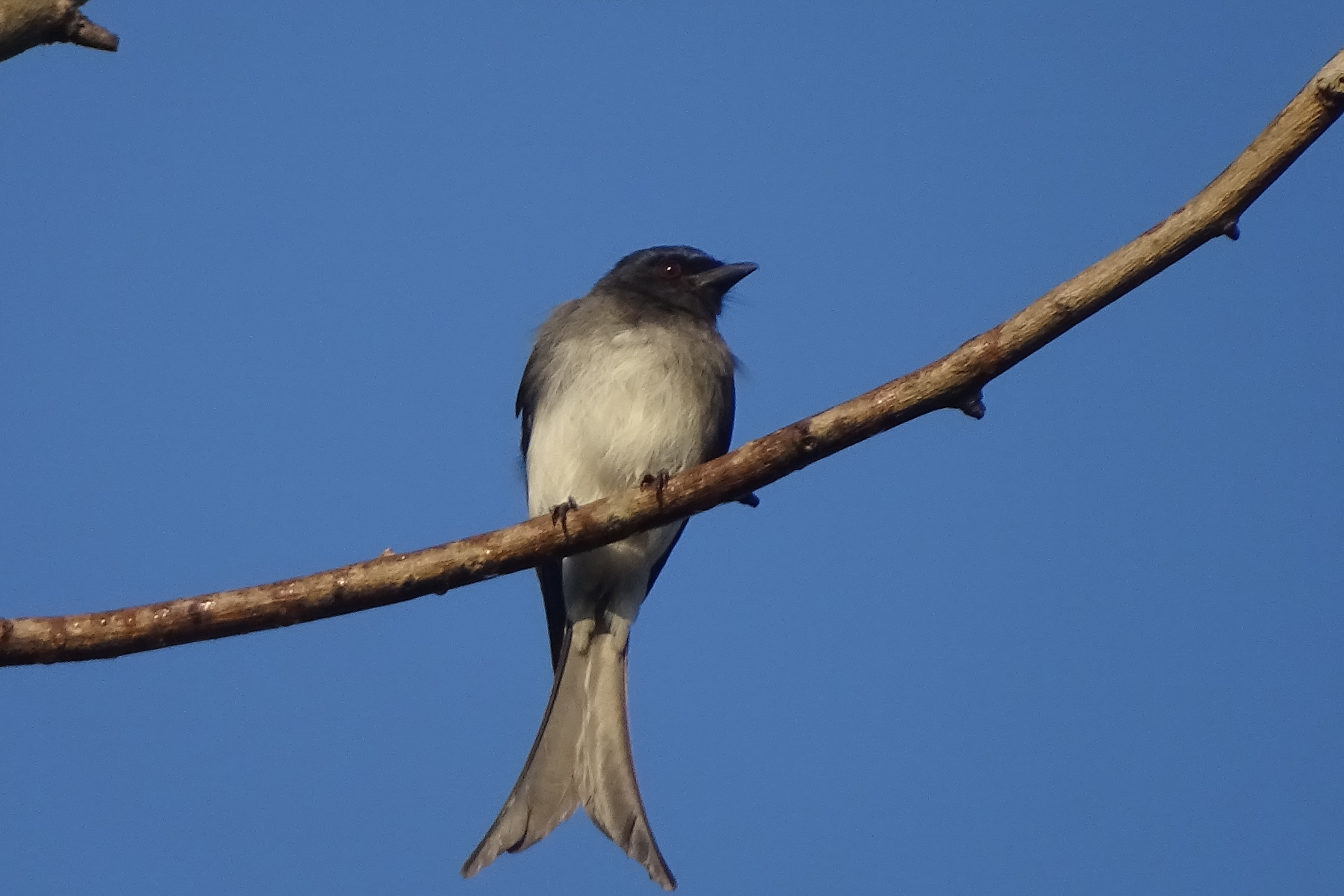 Image of White-bellied Drongo