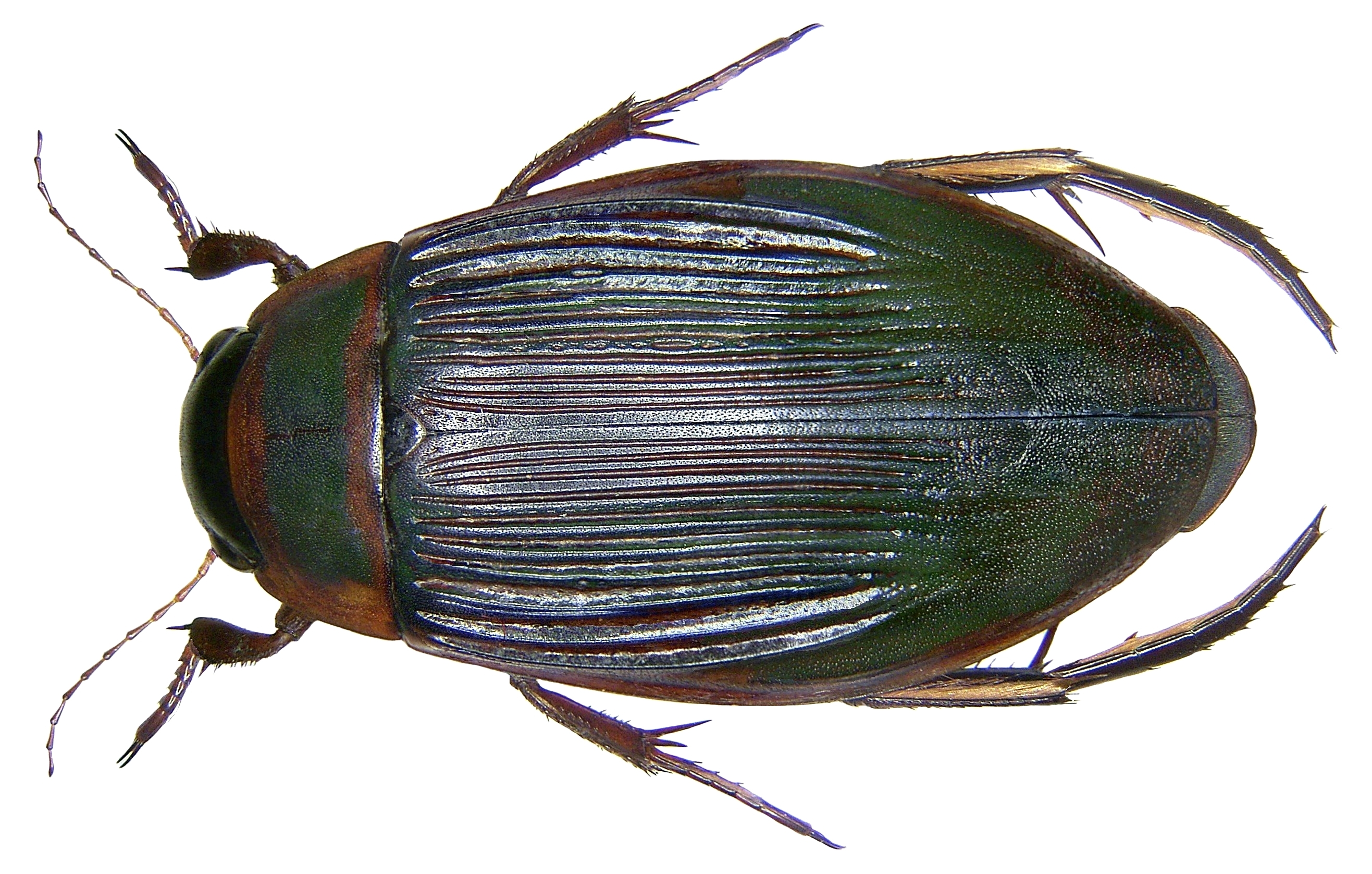 Image of Great diving beetle