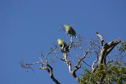 Image of Madagascar green pigeon