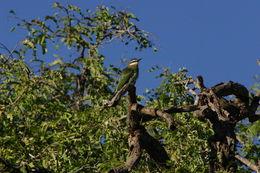 Image of Madagascar Bee-eater