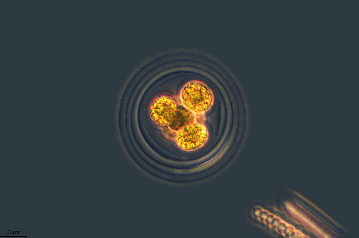 Image of <i>Asterococcus superbus</i>