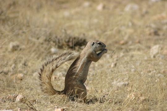 Image of Cape Ground Squirrel
