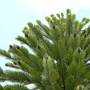 Image of Wollemi Pine