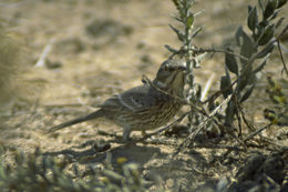 Image of Sage Thrasher