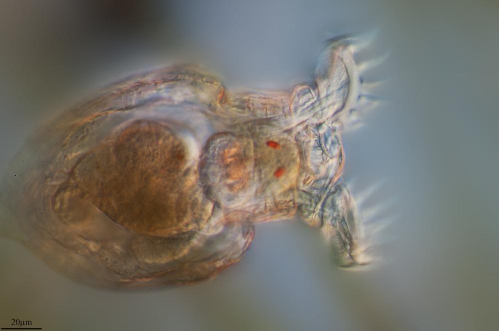 Image of <i>Philodina grandis</i> Milne 1916