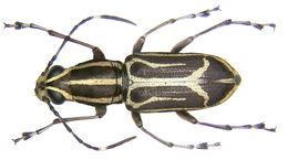 Image of <i>Xenocerus mesites</i>