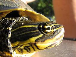 Image of Florida Chicken Turtle