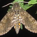 Image of Carolina sphinx