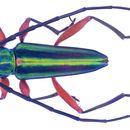Image of <i>Mionochroma aureotinctum</i> (Bates 1870)