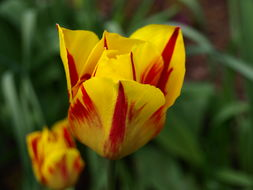 Image of Tulipa