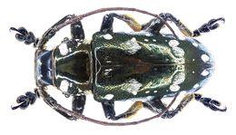 Image of <i>Abryna metallica</i>