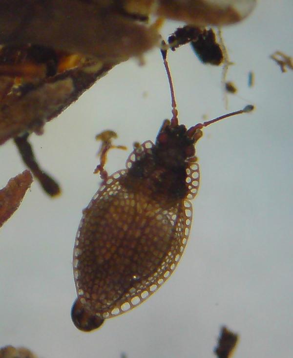 Image of Lace bug