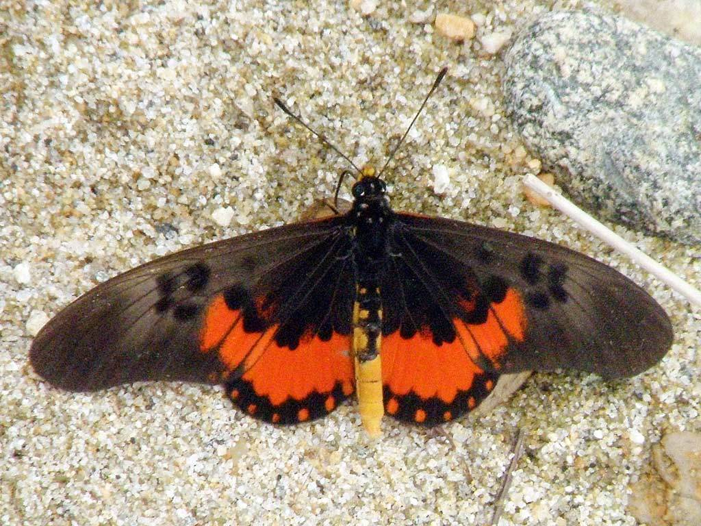 Image of <i>Acraea perenna</i> Doubleday (1847)