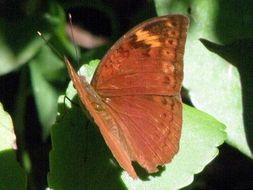 Image of <i>Bebearia mardania</i> Fabricius 1793