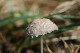 Image of <i>Coprinus plicatilis</i>