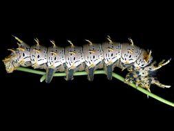 Image of Splendid Royal Moth