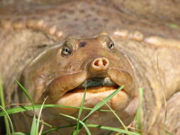 Image of Florida Softshell Turtle