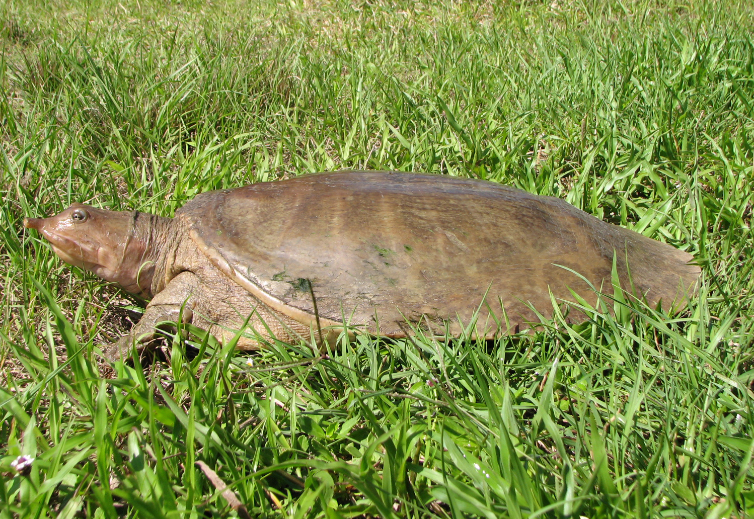 Image of Florida Softshell Turtle