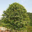 Image of <i>Sorbus torminalis</i> (L.) Crantz