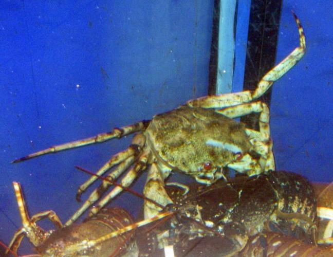 Image of golden deepsea crab