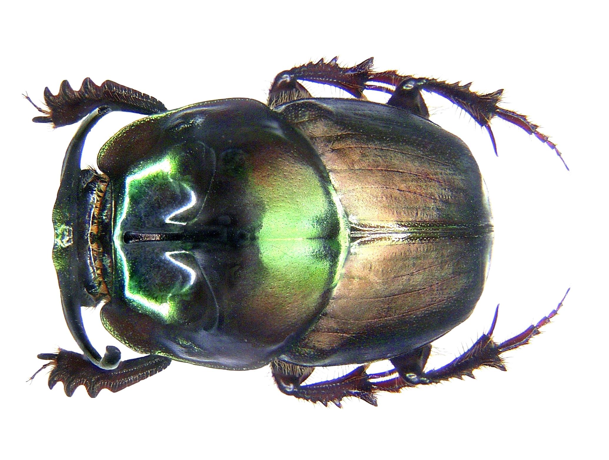 Image of <i>Onthophagus mouhoti</i>