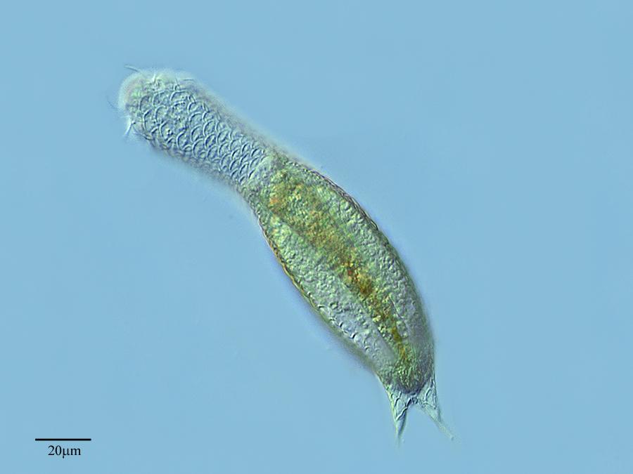 Image of <i>Lepidodermella squamata</i> (Dujardin 1841)