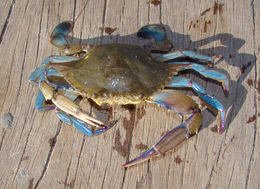 Image of Dana swimming crab