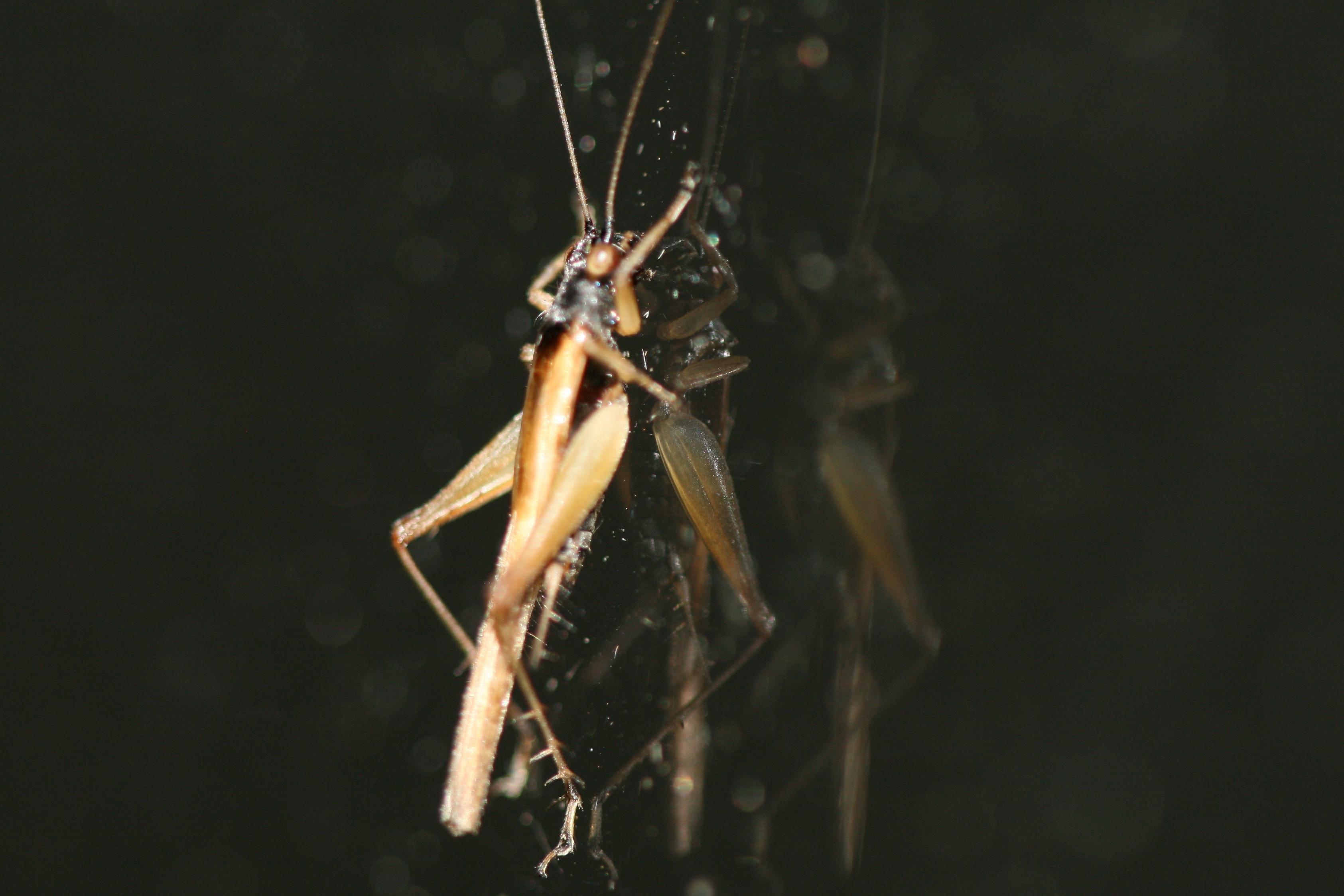 Image of <i>Paragryllacris combusta</i> (Gerstaecker 1860)