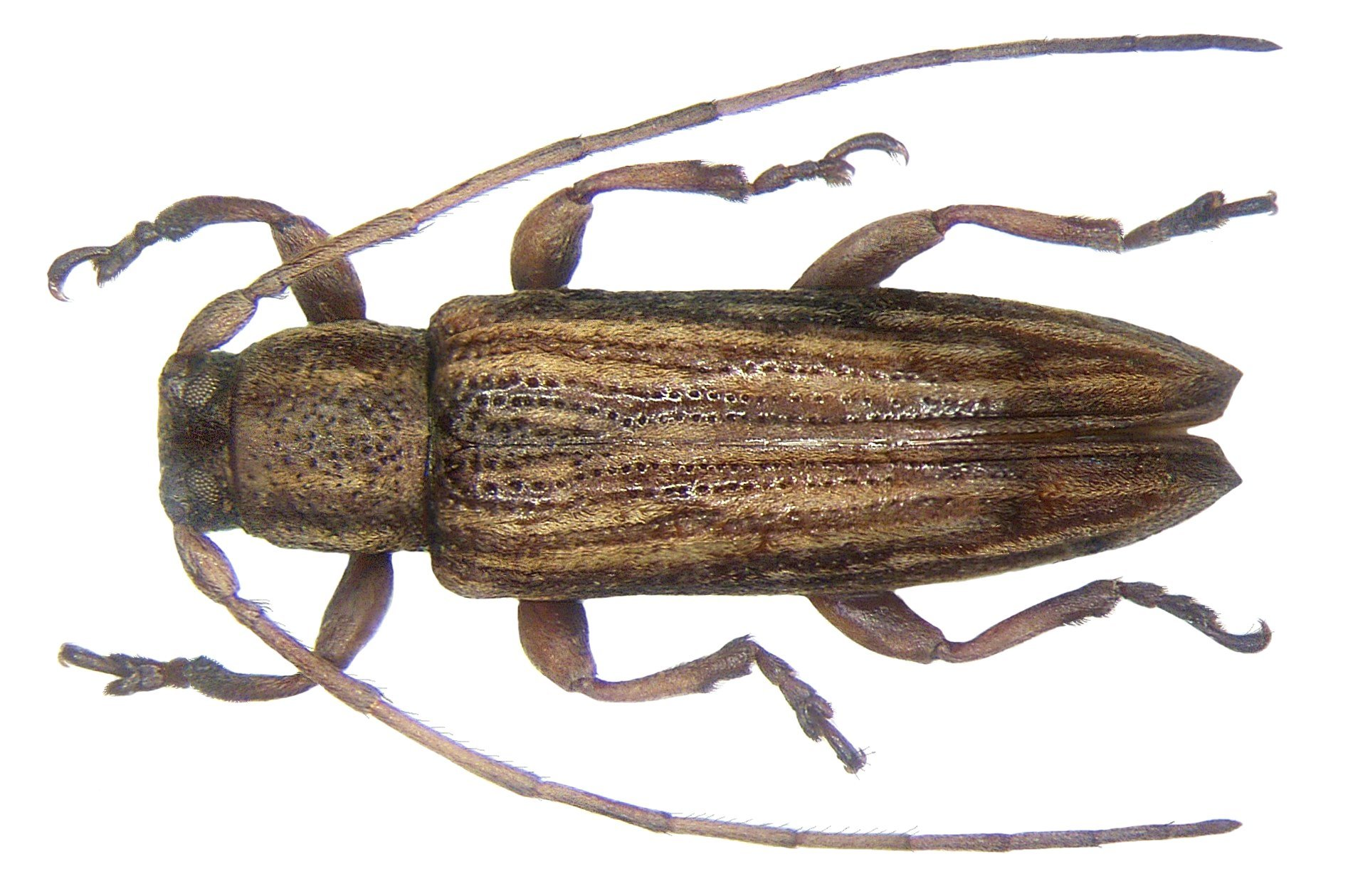 Image of <i>Orcesis multipunctata</i>